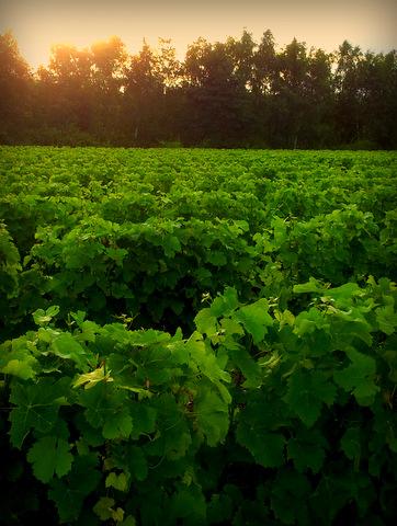 vignes et vins de touraine