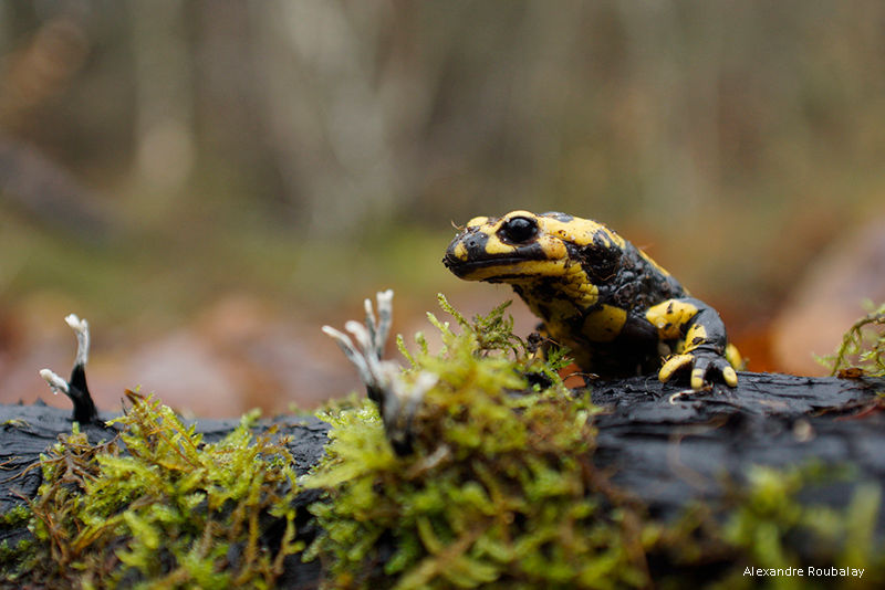 où trouver la salamandre tachetée où la voir