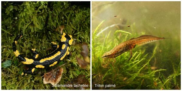 salamandre tachetée et triton palmé