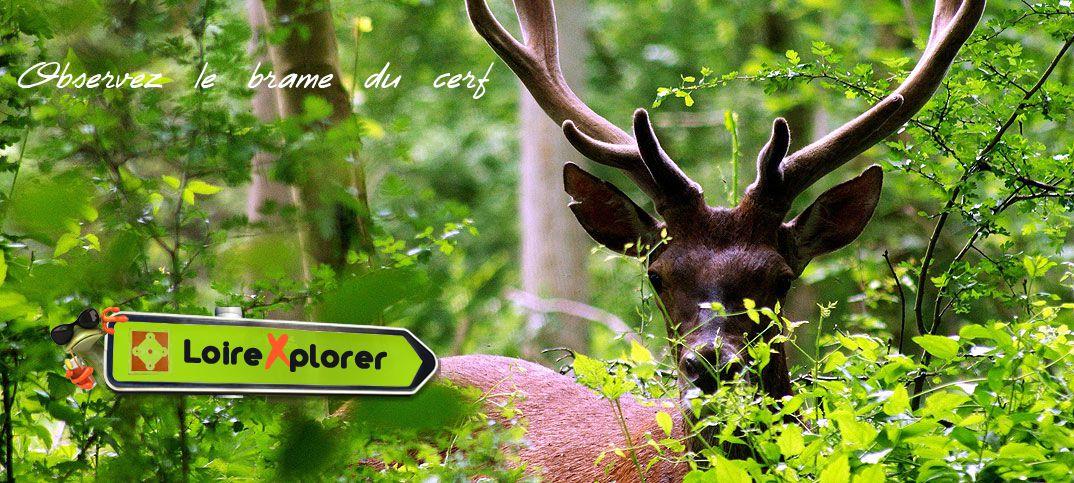observer le brame du cerf en Sologne Loir et Cher Loiret Indre et Loire Indre Cher région Centre