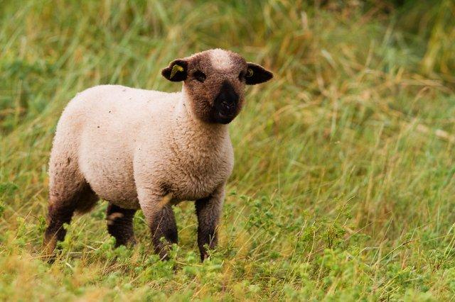 transumance de moutons de Sologne race de solognot mouton