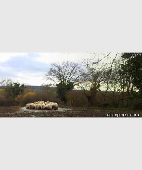 Vaches Charolaises voyage au centre de la France excursion insolite