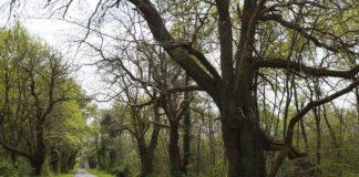 trogne arbre tétard
