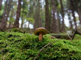 champignons vallée de la Loire bolet